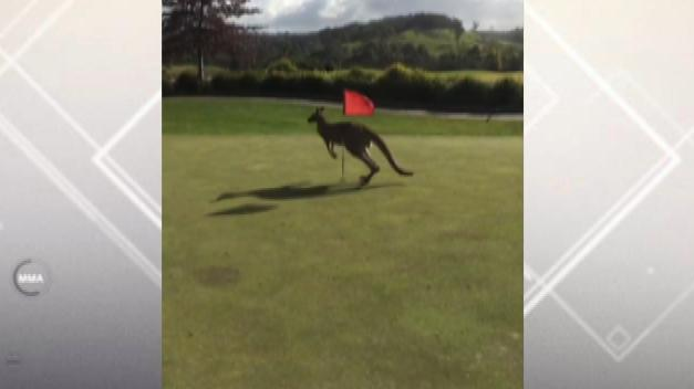 Dm 150803 mobile gol must see kangaroo on golf course